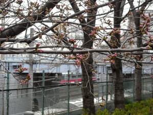 Sakura12033101