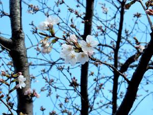 Sakura201601